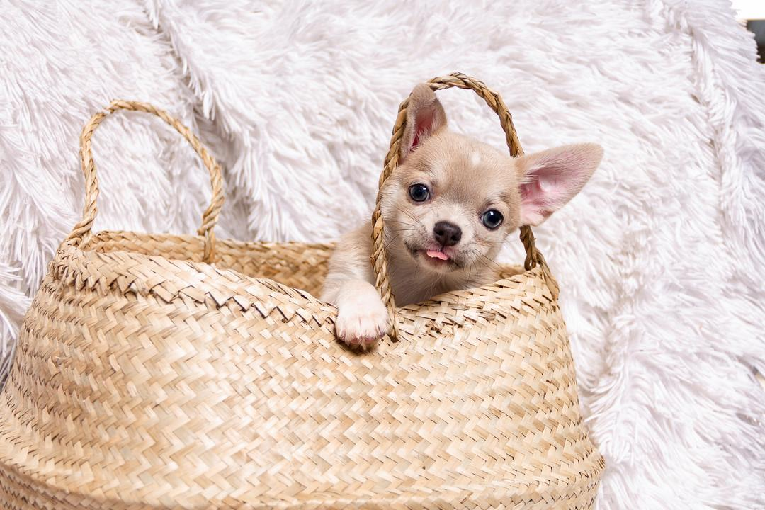 very cute chihuahua puppy in the bag