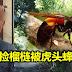 老汉独自到丛林捡榴梿被虎头蜂蜇死。Hornet (Vespa)