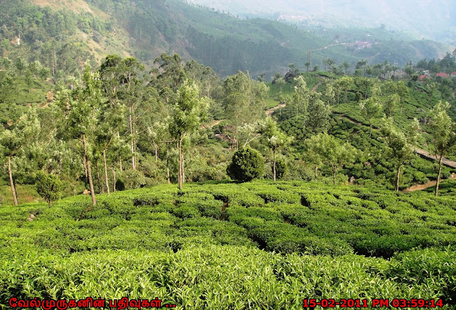 munnar tea garden photos