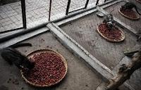 pelatihan usaha kopi luwak