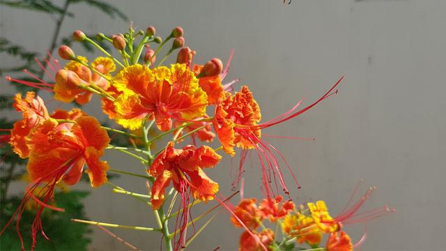 ดอกหางนกยูงไทย
