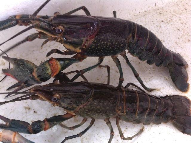 Pembenihan Lobster Air Tawar