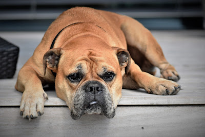 شكل كلب  البولدوج
