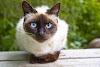 القطط السيامي وأنواعها - مراجعه القطط السيامي