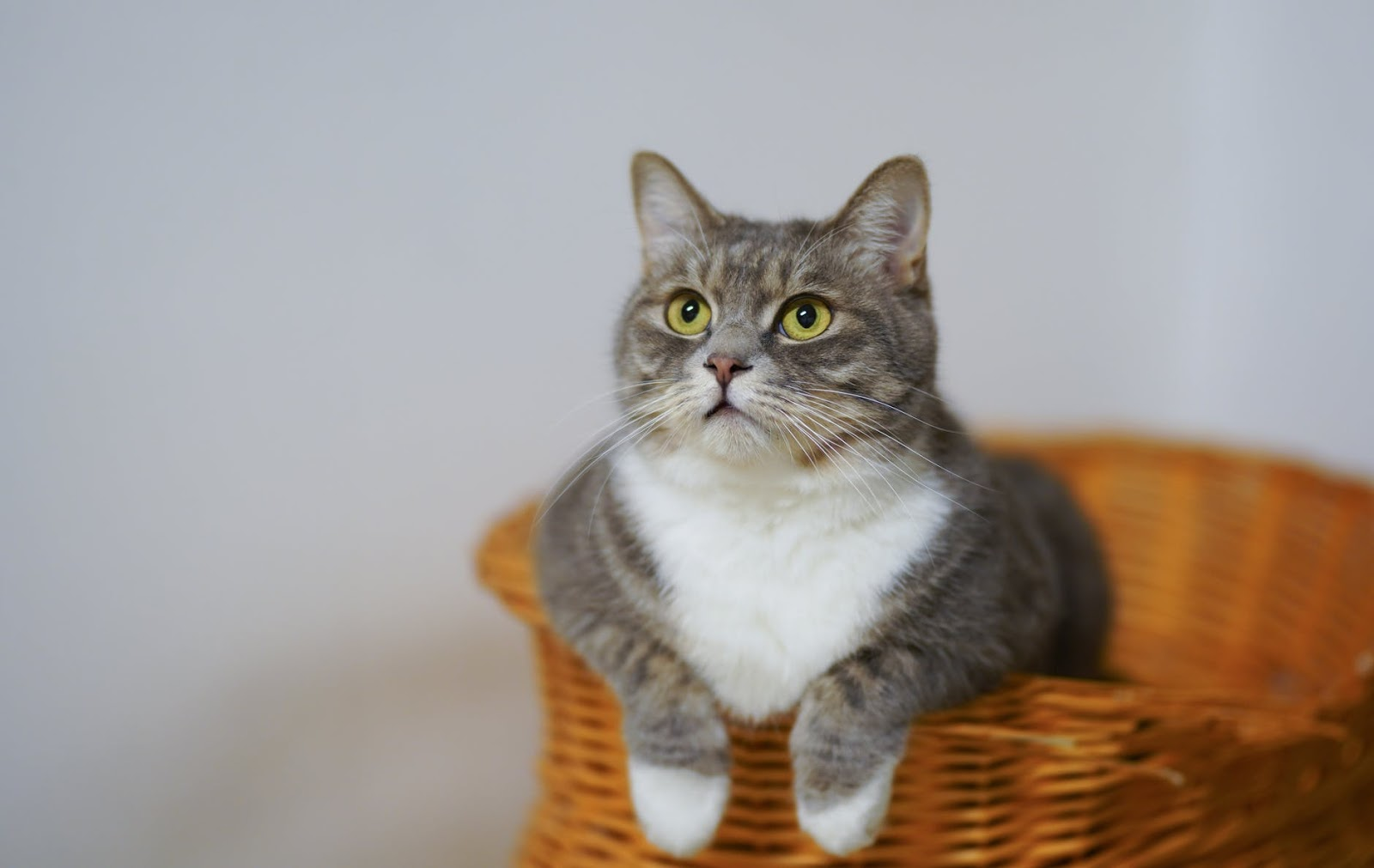 Cats can transmit Covid-19 to other cats but not humans, study confirms