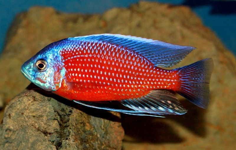 Gambar jenis jenis ikan cichlid ( Malawi Cichlids ) - Red Fin Kadango ( Copadichromis borleyi )