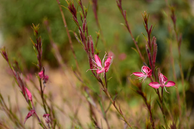 "Gaura lindheimeri ""Siskiyou Pink"", end of month view meme"