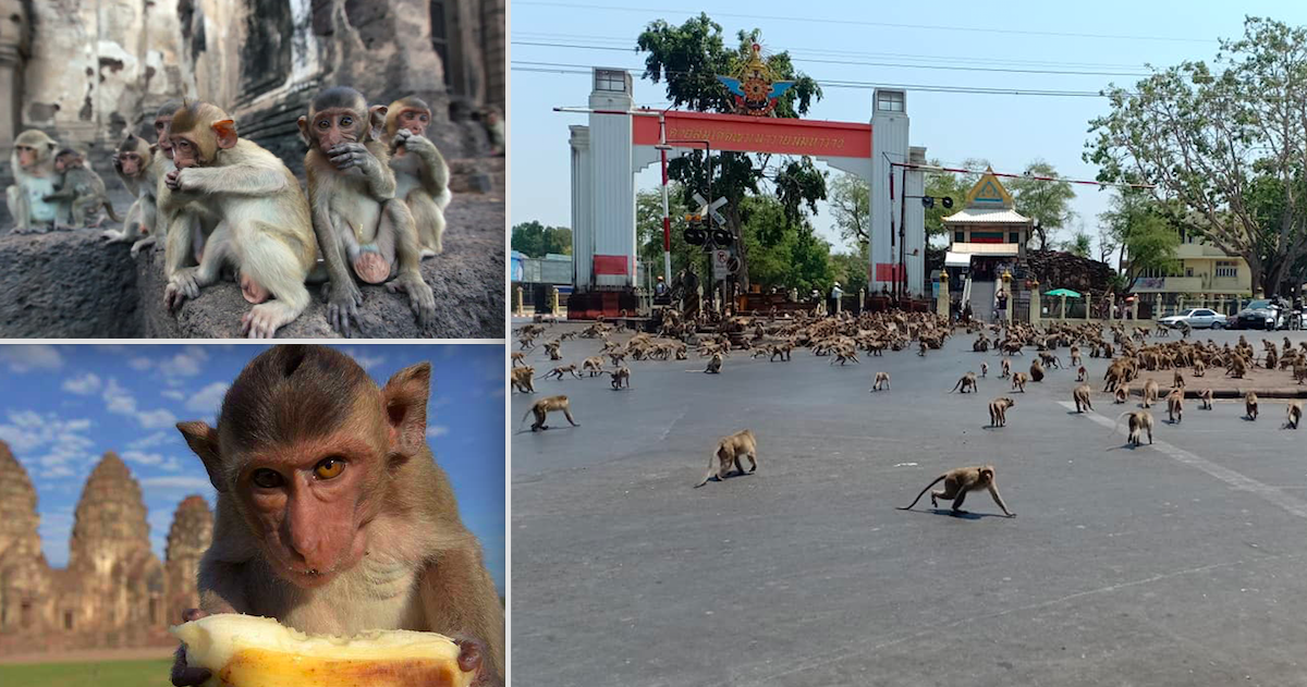 Thailand's Starving Monkey Gangs Fight Over A Banana Due To Absence Of Tourists Who Used To Provide Food