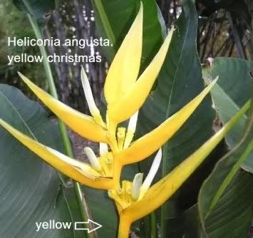 Heliconia angusta - Yellow Christmas.