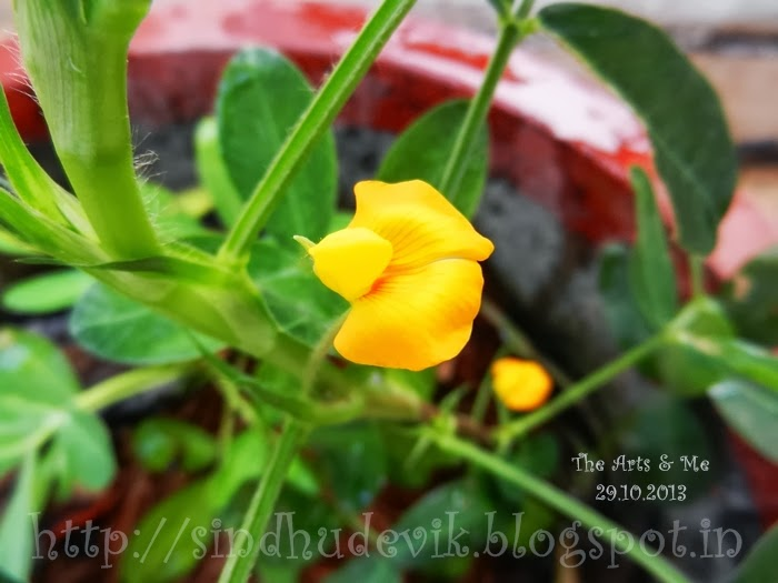 Male Peanut Flowers in my garden.