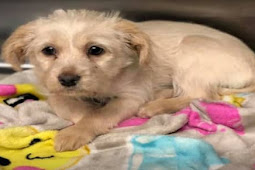 3 months old puppy surrendered to kill shelter with her favorite blanket, left with no more tears to cry