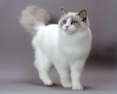 Pretty Ragdoll Cat