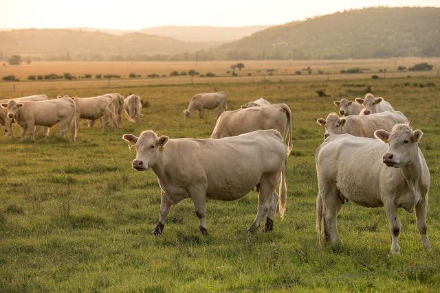 Cara ternak sapi potong