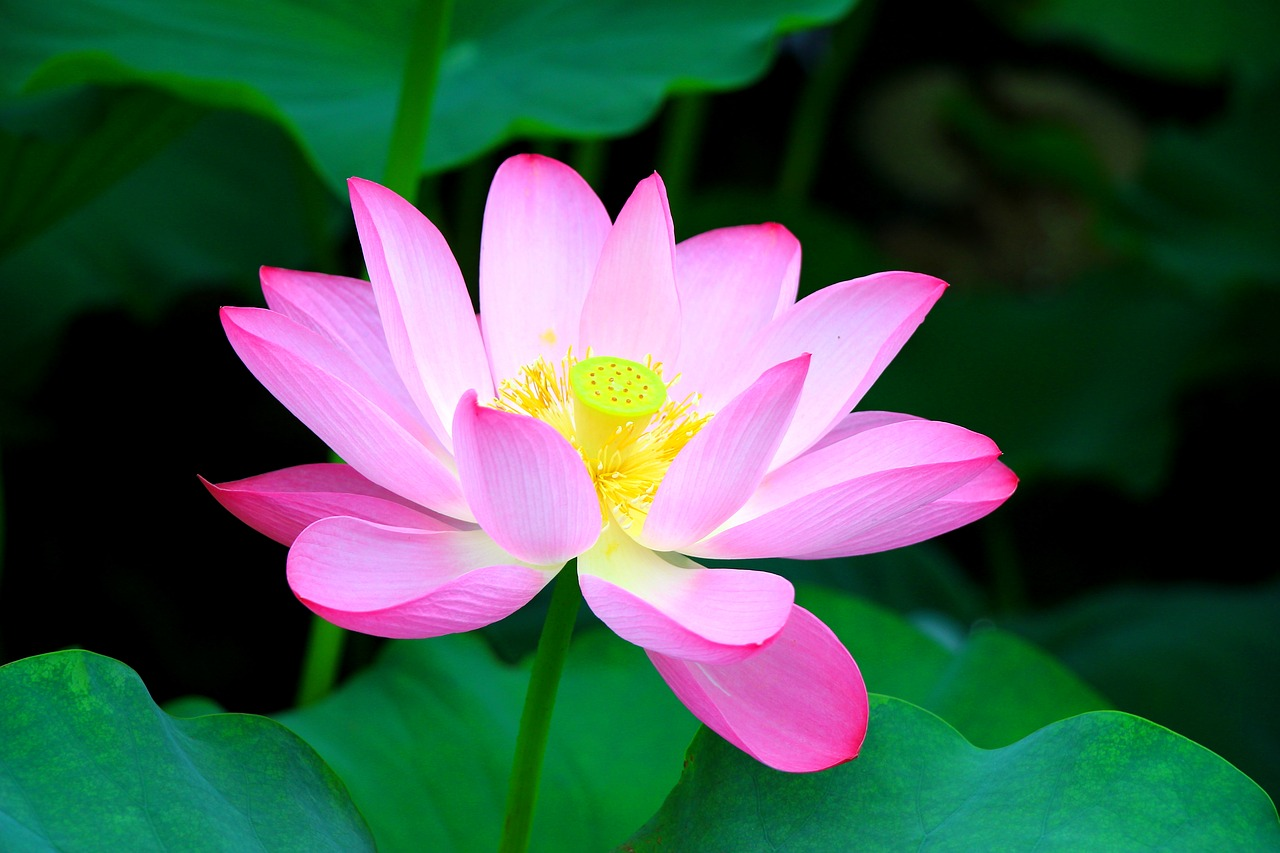 10 most beautiful flowers in the world best way 7 lotus flower 7lotusflowermostbeautifulflowersintheworld20172018 izmirmasajfo