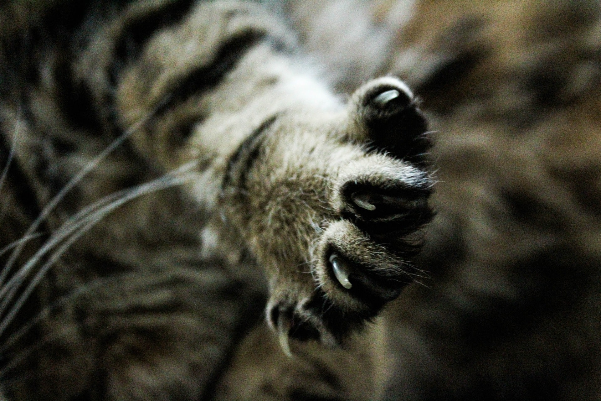 Soin des ongles pour chat
