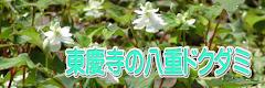 東慶寺の八重ドクダミ