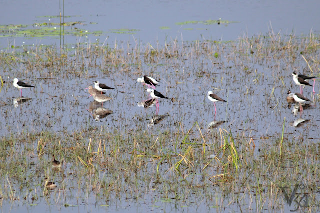 Black-winged Stilt along with two Black-tailed Godwit. The later is categorized as Near Threatened species under IUCN Red List