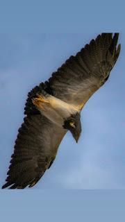 Grupo de trilheiros apela pela preservação de águias chilenas que sobrevoam região