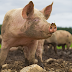 Hog And Pig Farm Workers Needed In Canada