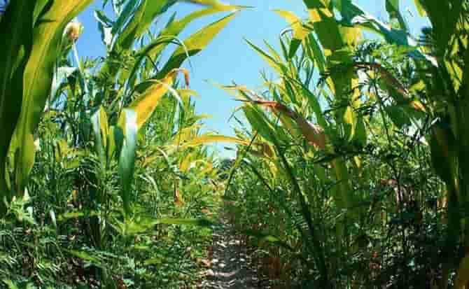 sembrar, plantas, maíz,