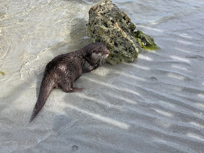 This lil  otter is looking one way, but her entire arm is down a hole in the sand grasping for crabs.