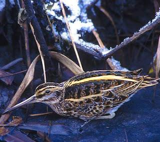 Lymnocryptes minimus