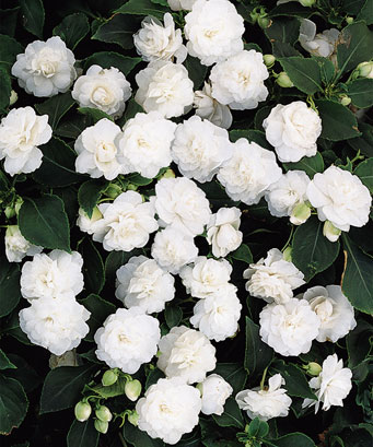 White Flowers - White roses, White pansies and More