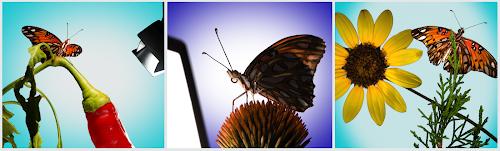 Three Gulf fritillary butterflies on various plants