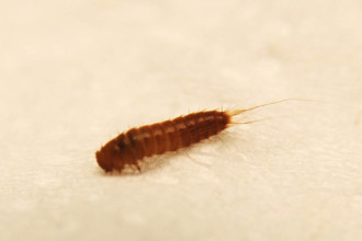 Bed bug larvae vs Carpet beetle larvae Pictures, Identification