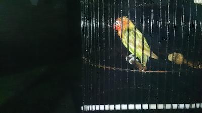 Tips mandi malam burung lovebird