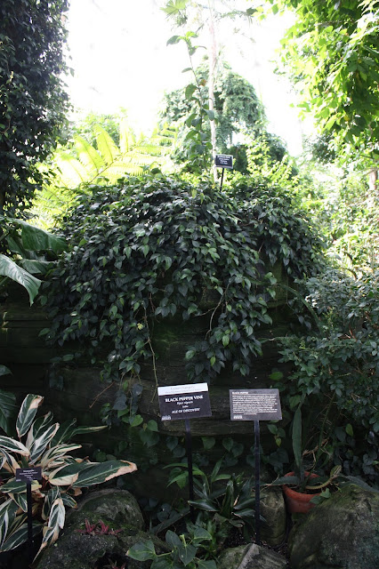 Black Pepper Plant is one example of edible plants in the Mitchell Park Domes.