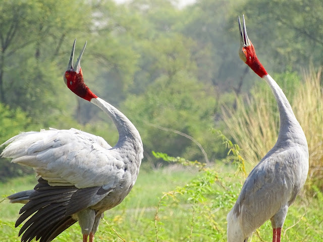 Sarus Cranes in Keoladeo National Park