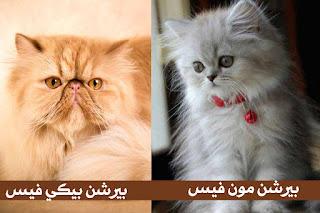 معلومات حول القط الشيرازي الأكثر شهرة في الوطن العربي وانواعه