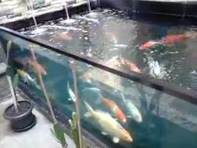 cara memelihara ikan koi supaya cepat besar,cara merawat ikan koi di aquarium,cara merawat ikan koi di kolam terbuka,cara membesarkan ikan koi dengan cepat,