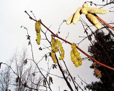 Flores masculinas del avellano