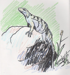 sketch of sunning Mexican Iguana by David Borden (c) 2015