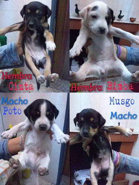 cachorros cruce bodeguero con pinscher