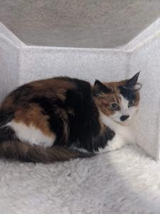 tortoiseshell-and-white cat sitting inside cat pen