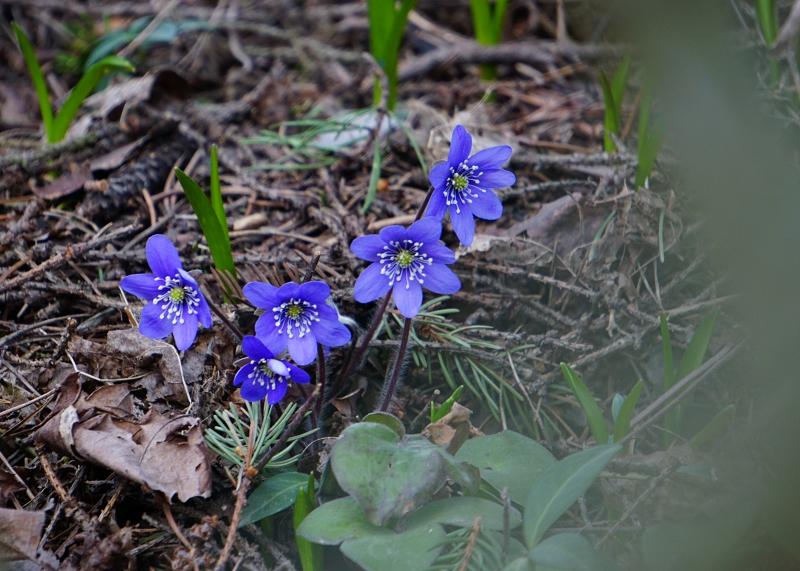 kevät, kevätkukat