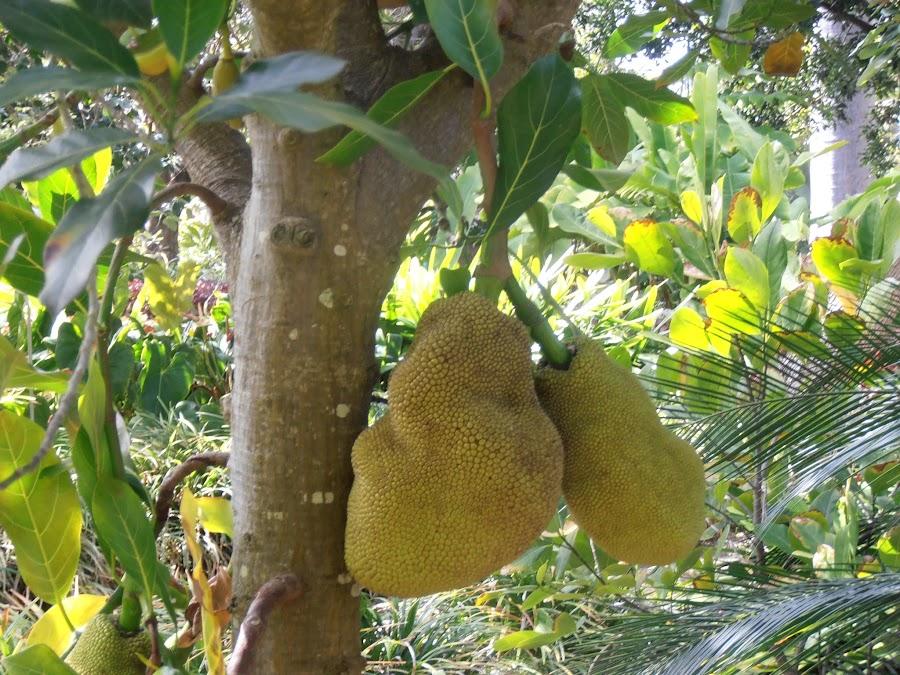 Artocarpus heterophyllus (Árbol de Jack)