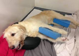fisioterapia em cães com escaras
