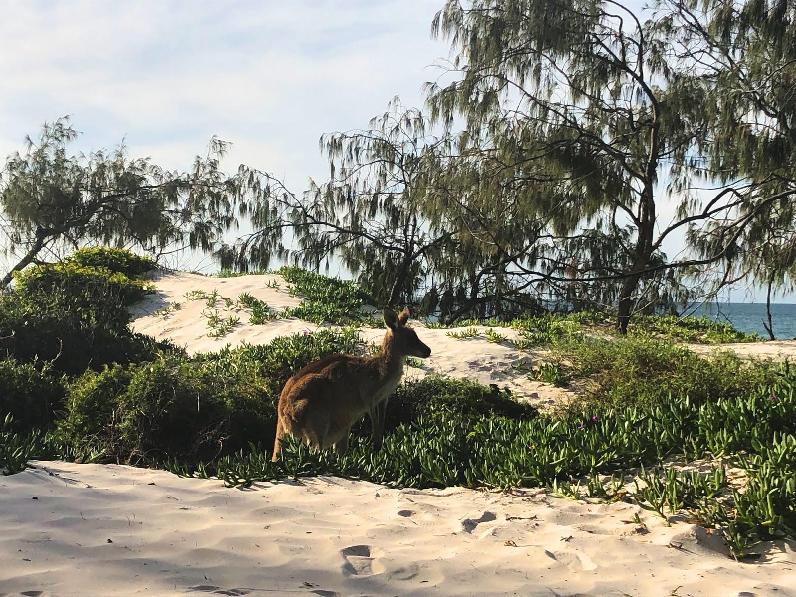 Kangur na plaży w Bribie Island National Park and Recreation Area