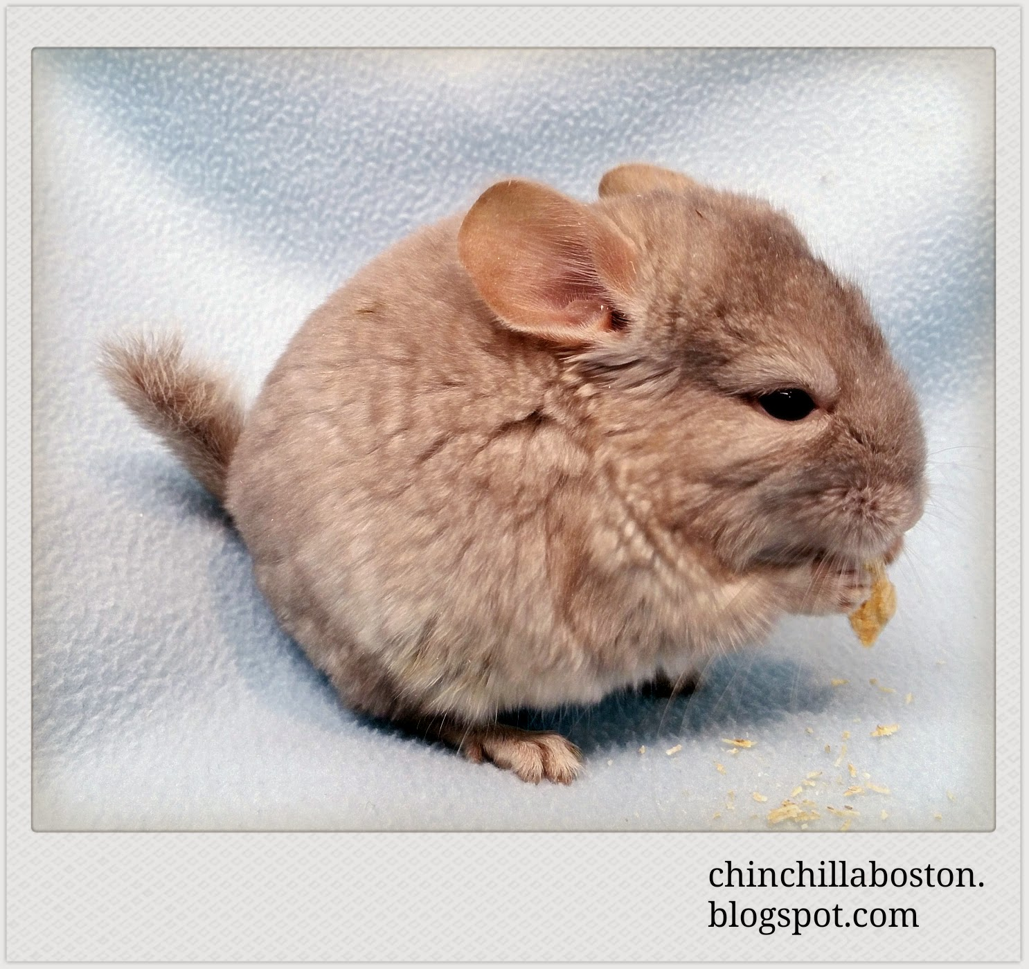 Chinchilla Boston