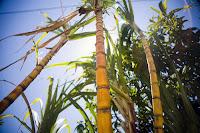 Kamış, şeker kamışı bitkisi