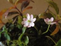 山野草盆栽の花苗 ユキワリソウ