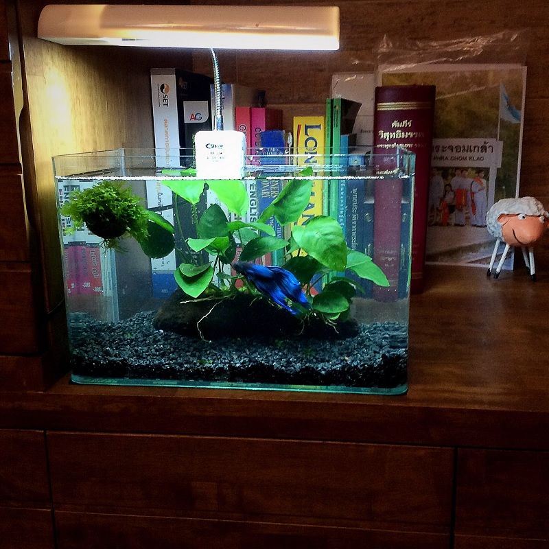 Water Sprite Betta Fish