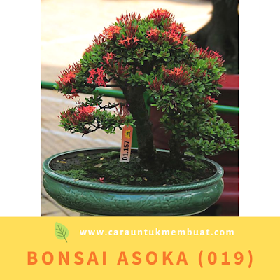 Bonsai Asoka (019)