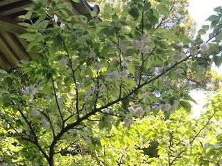 安国論寺の妙法桜