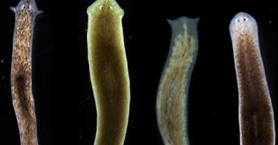 beberapa jenis planaria