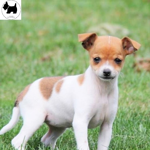 Cutest Dog Breeds, Best Dog, Rat Terrier Dog puppies
